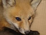Foxy by Rayn_dragon, Photography->Animals gallery