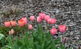 Spring Tulips by tigger3, photography->flowers gallery