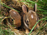 Widdle Bunnies by chaos_magess, Photography->Animals gallery