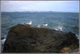 Herring gulls of . St Michae:s Mount by gizmo1, photography->birds gallery
