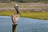 brown pelican by jeenie11, Photography->Birds gallery