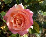 Peach Melba 2 by trixxie17, photography->flowers gallery