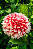 Dahlia Show 50 by corngrowth, photography->flowers gallery