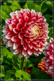Dahlia Show 58 by corngrowth, photography->flowers gallery