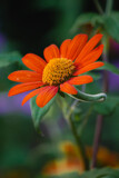 Mexican Sunflower by Pistos, photography->flowers gallery