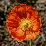 Papaver nudicaule by luckyshot, photography->flowers gallery