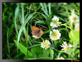 That's my clover by Larser, Photography->Butterflies gallery