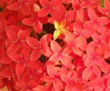 Ixora flowers by rajuambat, Photography->Flowers gallery