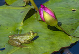 Waiting For The Bloom by rahto, photography->reptiles/amphibians gallery