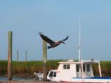 Brown Pelican In Flight by connodado, Photography->Birds gallery