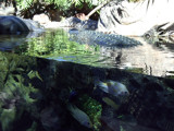 Alligators and Fish at the Zoo in Tenerife by philja54, Photography->Underwater gallery
