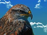 Ferruginous Hawk by biffobear, photography->birds gallery