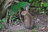 """""""Peter Jack-Rabbit - Not Cotton Tail, lol"""" by icedancer, photography->animals gallery"""