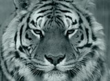 Tiger Face B&W? Sort Of by tigger3, contests->b/w challenge gallery