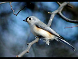 Tufted Titmouse 2 by gerryp, Photography->Birds gallery