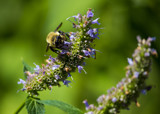 Bee on Hyssop by Pistos, photography->insects/spiders gallery
