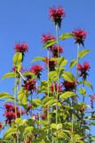 Monarda by jerseygurl, photography->flowers gallery