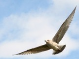 Herring Gull by Si, Photography->Birds gallery