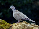 Collared Dove by biffobear, photography->birds gallery