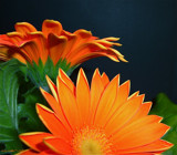 Gerberas Again by ccmerino, Photography->Flowers gallery