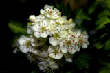 Hawthorn by coram9, photography->flowers gallery