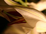 Lily Series no.2 by hobgoblin, Photography->Flowers gallery