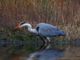 Great Grey Heron by biffobear, photography->birds gallery