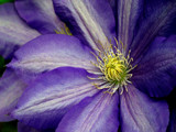 clematis by jeenie11, Photography->Flowers gallery
