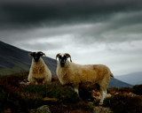 SCOTTISH SHEEP by LANJOCKEY, Photography->Animals gallery