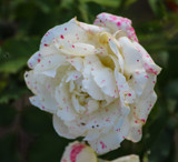 White Rose with Freckles by Pistos, photography->flowers gallery