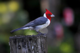 hawaiian red crested cardinal by jeenie11, Photography->Birds gallery