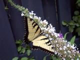 SwallowTail by rzettek, Photography->Butterflies gallery