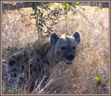 Hyena by SusanVenter, Photography->Animals gallery
