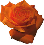 Orange Rose by ccmerino, Photography->Flowers gallery