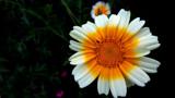 Sunshine On A Sunshiny Day by braces, photography->flowers gallery