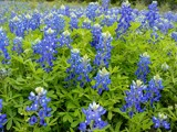 Bluebonnets from Texas by imlarryboy, Photography->Flowers gallery