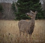 Deer # 72 by picardroe, photography->animals gallery