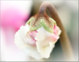 Cyclamen Bud by LynEve, photography->flowers gallery