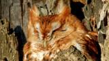 Screech Owl 2 by gerryp, Photography->Birds gallery