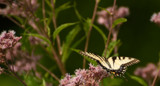 The Yellowtail Swallowtail at Defries by tigger3, photography->butterflies gallery
