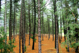 Young Pine Forrest by amanzat, Photography->Nature gallery