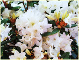 Sugar Puff Rhododendron by trixxie17, photography->flowers gallery