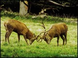 Stag Fight by Dunstickin, photography->animals gallery