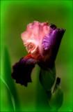 Calendar Garden Iris by tigger3, photography->flowers gallery