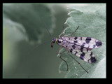 mosquito (edit ;scorpion fly ) by kodo34, Photography->Insects/Spiders gallery
