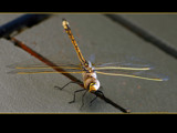 Golden Dragonfly 1 by Samatar, Photography->Insects/Spiders gallery