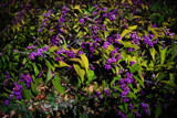 Calicarpa by luckyshot, photography->flowers gallery
