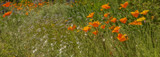 California Poppies by goggs, photography->flowers gallery