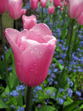 Pink, Blue & Dew by CanoeGuru, Photography->Flowers gallery