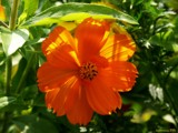 Orange by jojomercury, photography->flowers gallery
